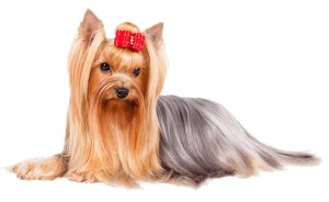 YorkshireTerrier_cutout
